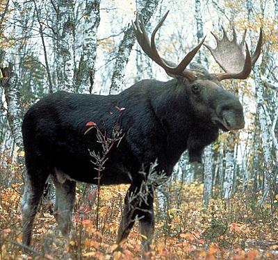 A Moose in Minnesota