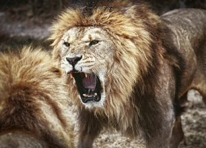 Lions fight for leadership